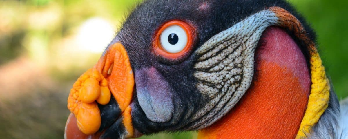 KingVulture_Zoo