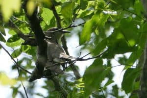 Black-billed Cuckoo by James Muller