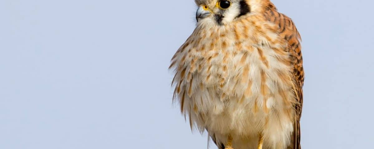 American Kestrel - Photo Mick Thompson