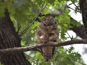 Spotted Owl - Photo Adriana Losey