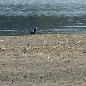 Black-bellied Plover - Photo Jenny Bowman