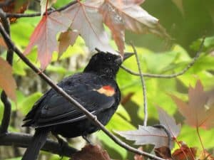 Red-winged Blackbird - Photo Lisa Phelps