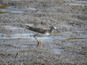 Lesser Yellowlegs - Photo Lisa Phelps