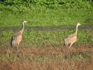 Sandhill Cranes near Wilderness - Photo Lisa Phelps