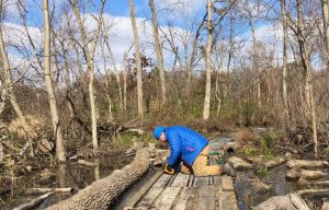 Blaine Keckley skid-proofing the boardwalk at Calamus Swamp - Photo Tom Sheley