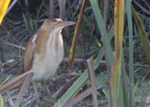 Least Bittern by James Smallwood