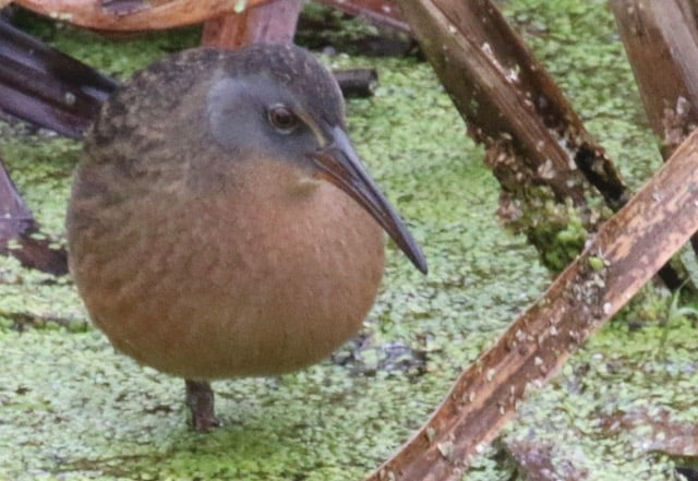 Virginia Rail by James Smallwood