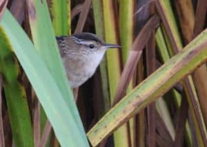 Marsh Wren by James Smallwood