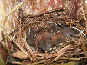 House Wren Nestlings
