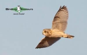 Short-eared Owl - Photo Jacob Roalef