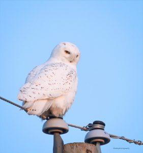 Snowy Owl by Zebedee Muller