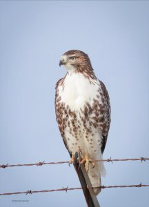 Red-tailed Hawk by Zebedee Muller