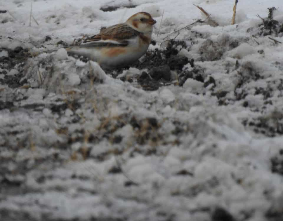 Snow Bunting by Lisa Phelps