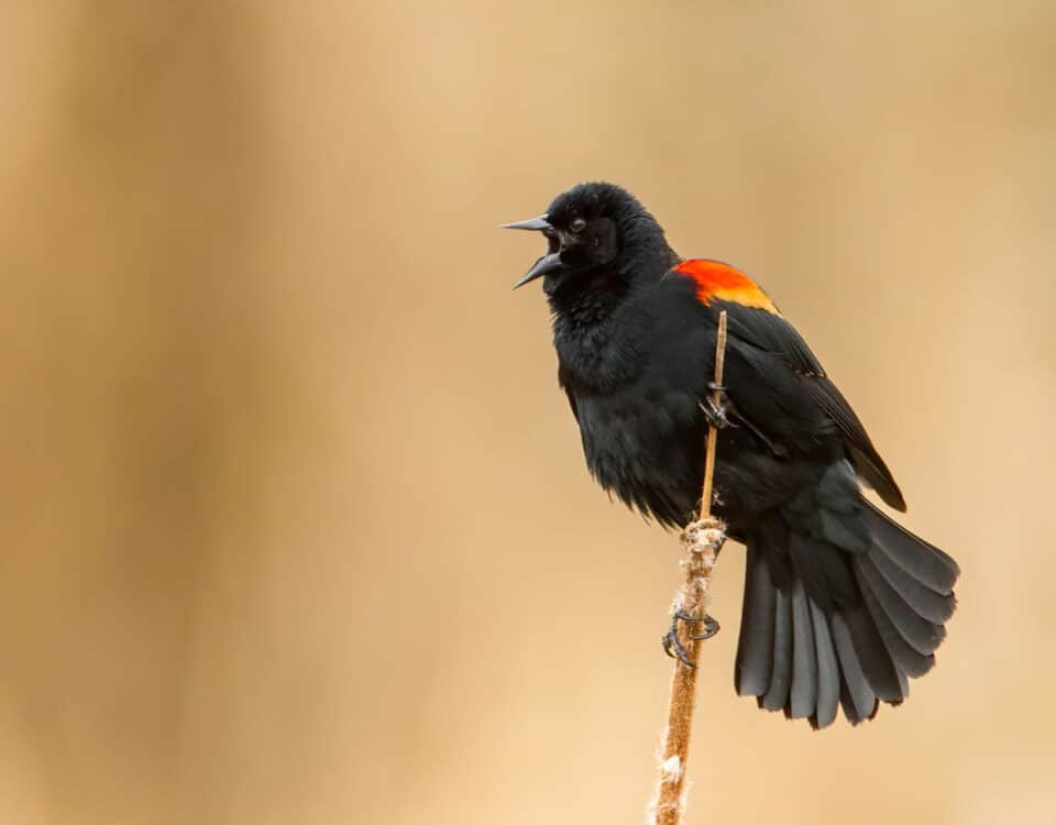 Red-winged Blackbird - Photo Mick Thompson