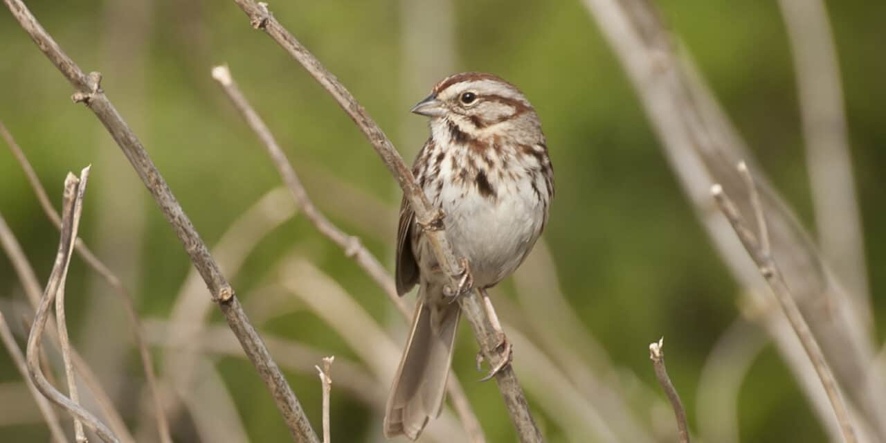Tom Sheley - Song Sparrow