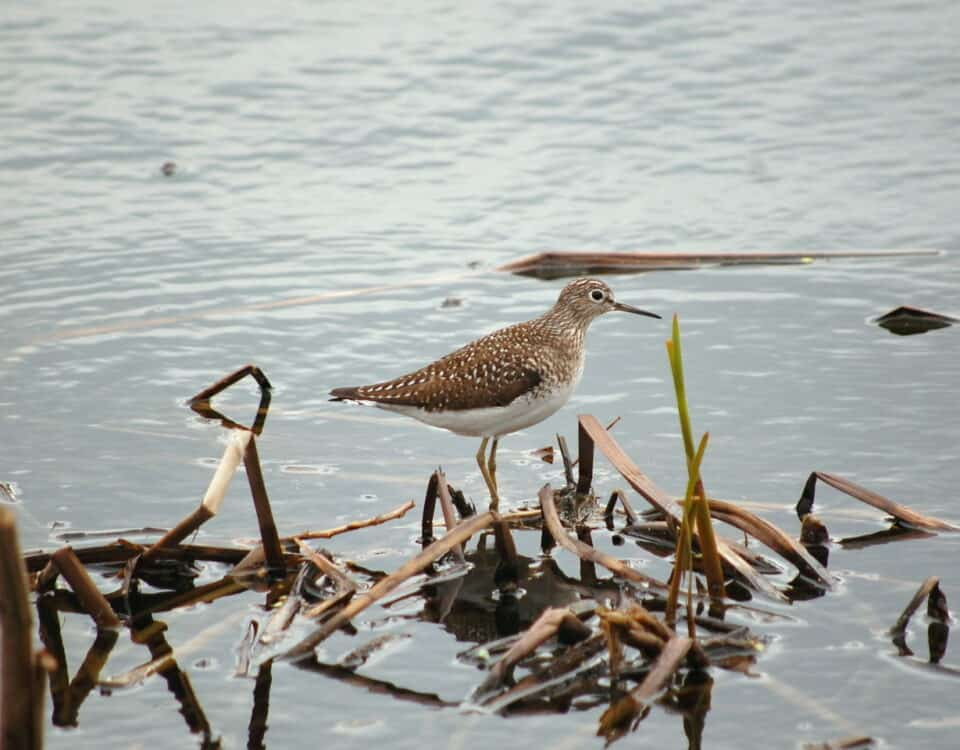 Solitary Sandpiper - Photo Rob Thorn