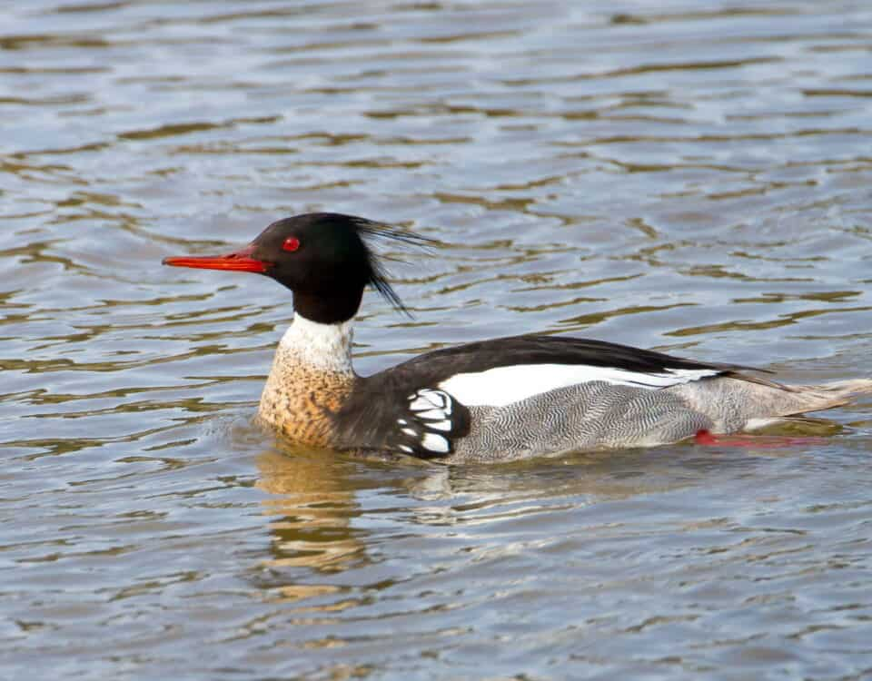 Red-breasted Merganser - Photo Mick Thompson