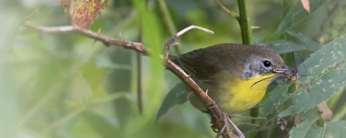 Common Yellowthroat (Fall) - Photo Andrew Weitzel