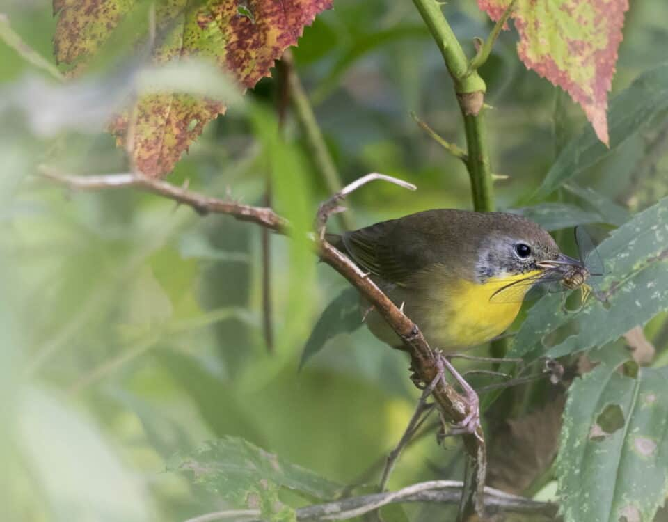 Common Yellowthroat (Fall) - Photo Andrew Weitzel