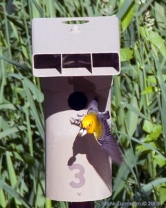 Prothonotary Warbler Removing Fecal Sac from Nestbox - Photo Frank Germann