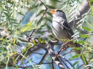 White-crowned Sparrow - Photo Wendy Miller
