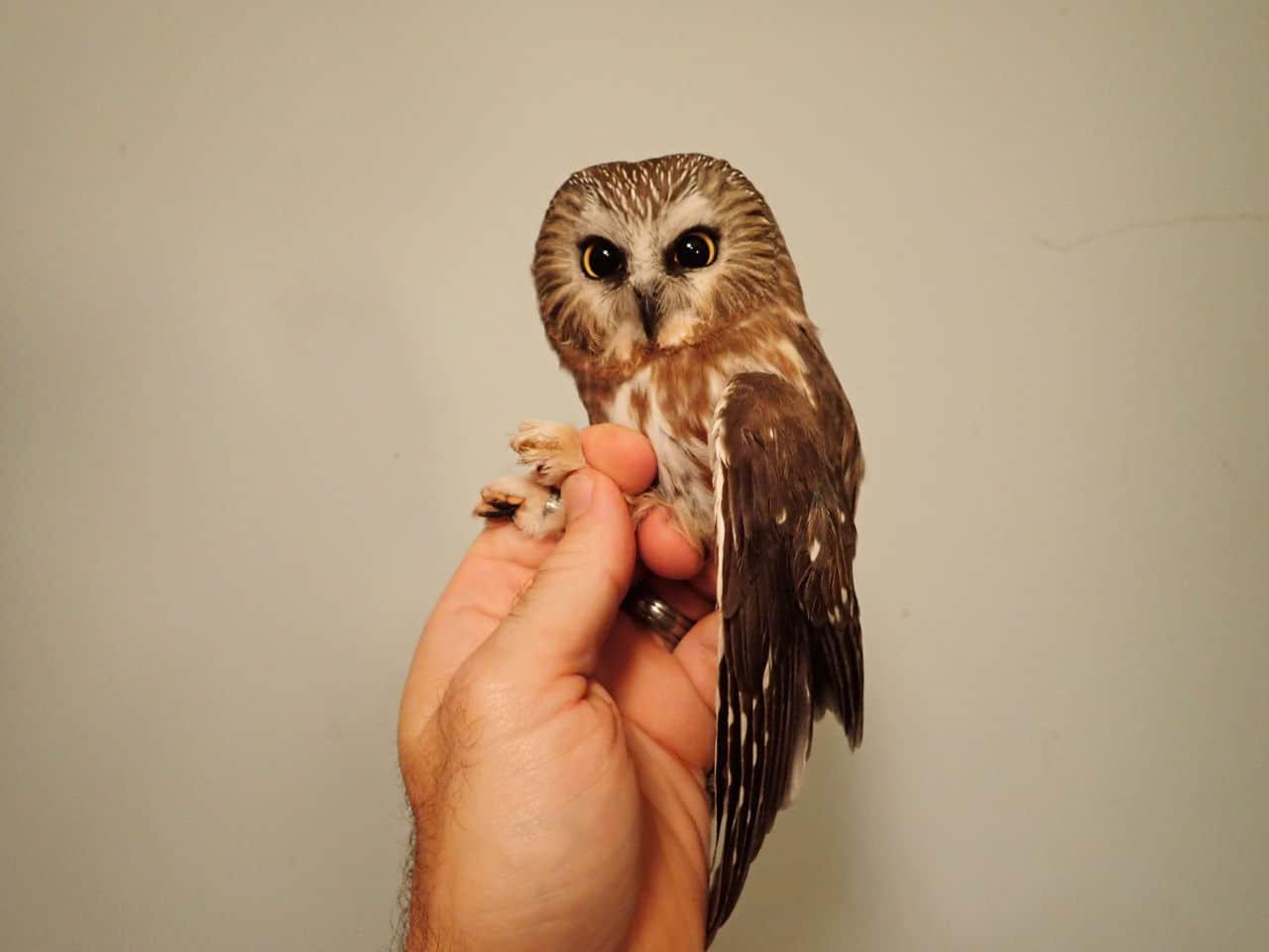 06 Nov 2020 - Northern Saw-whet Owl