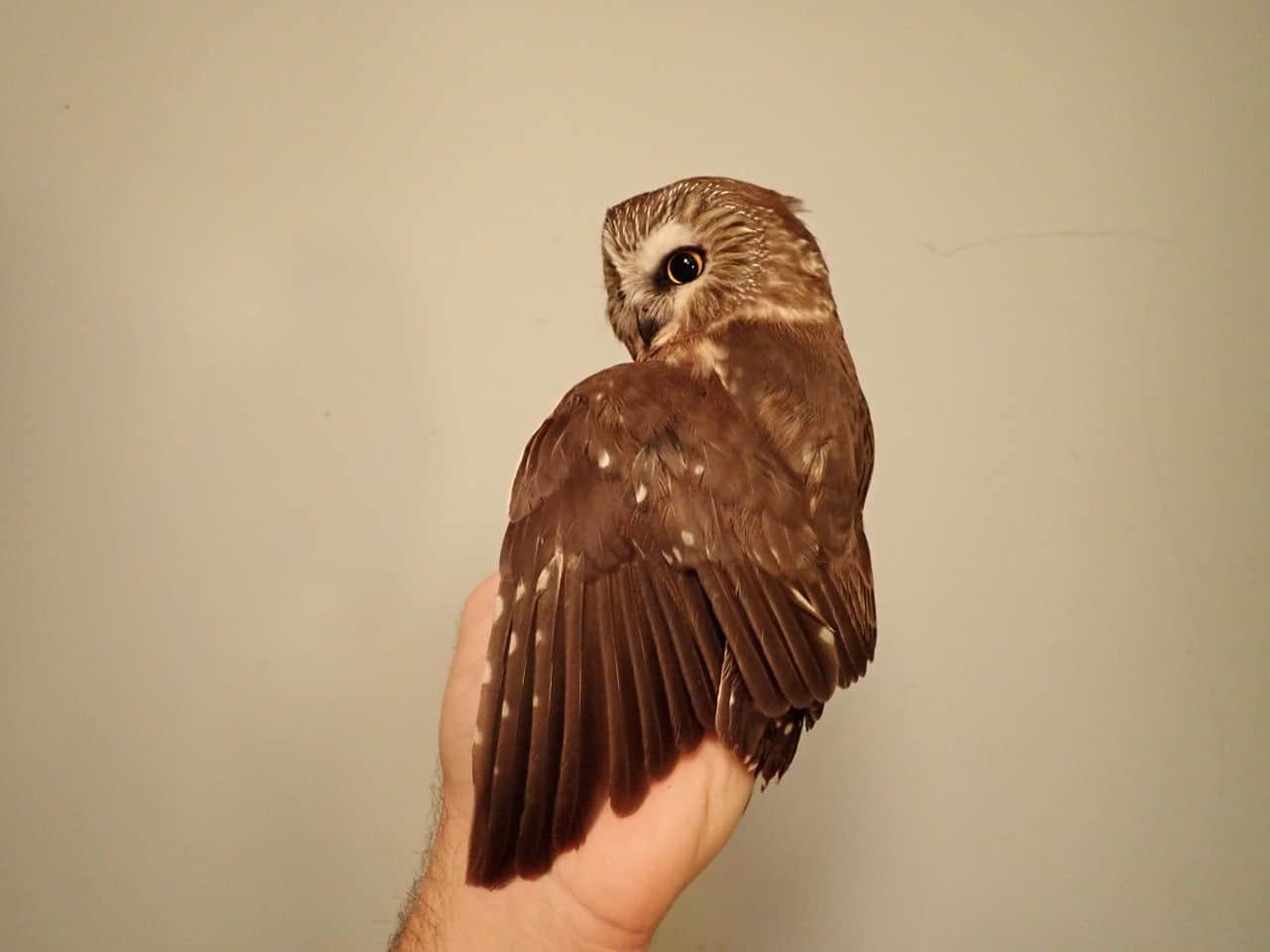 06 Nov 2020 - Northern Saw-whet Owl (female)