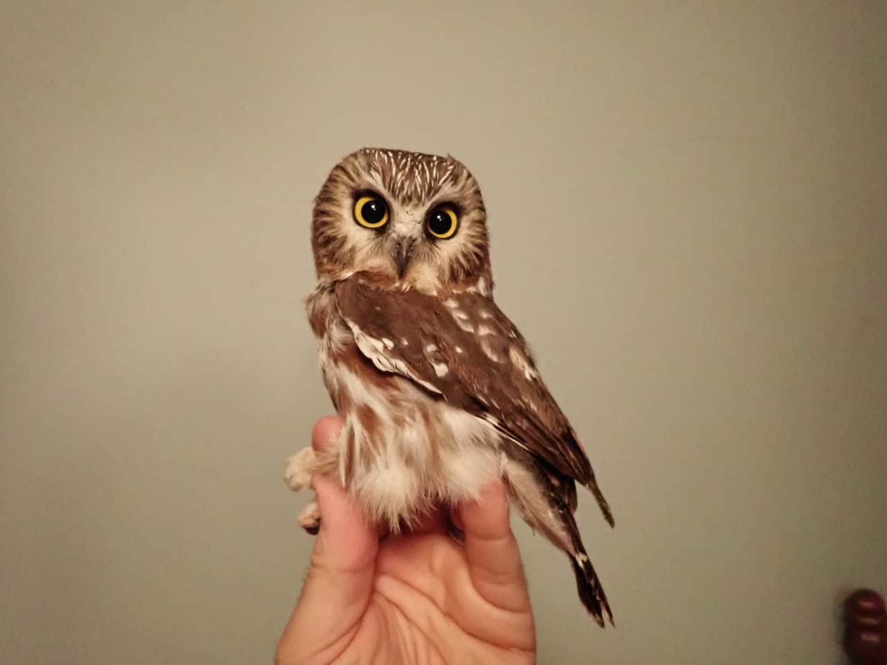 07 Nov 2020 - Northern Saw-whet Owl (female)