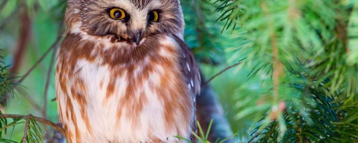 Northern Saw-whet Owl - Photo Mick Thompson