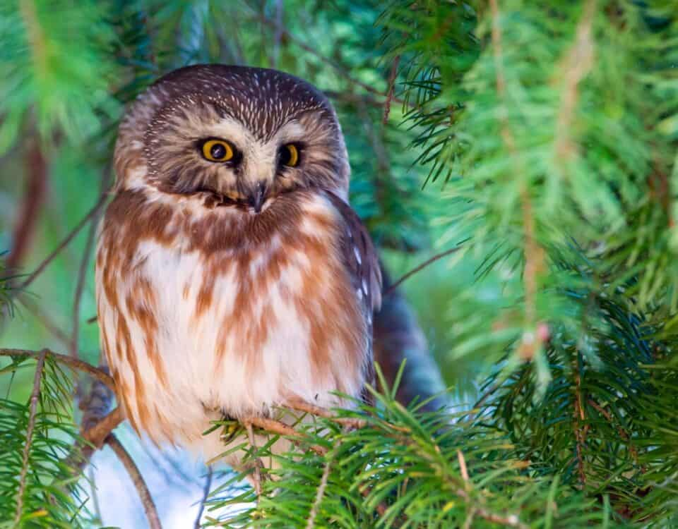 Northern Saw-whet Owl - Photo Mick Thompson