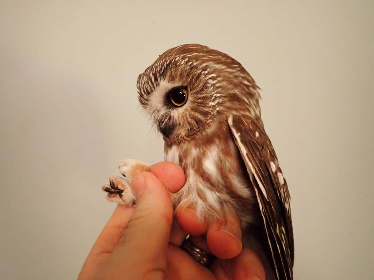 Nov 2020 - Northern Saw-whet Owl