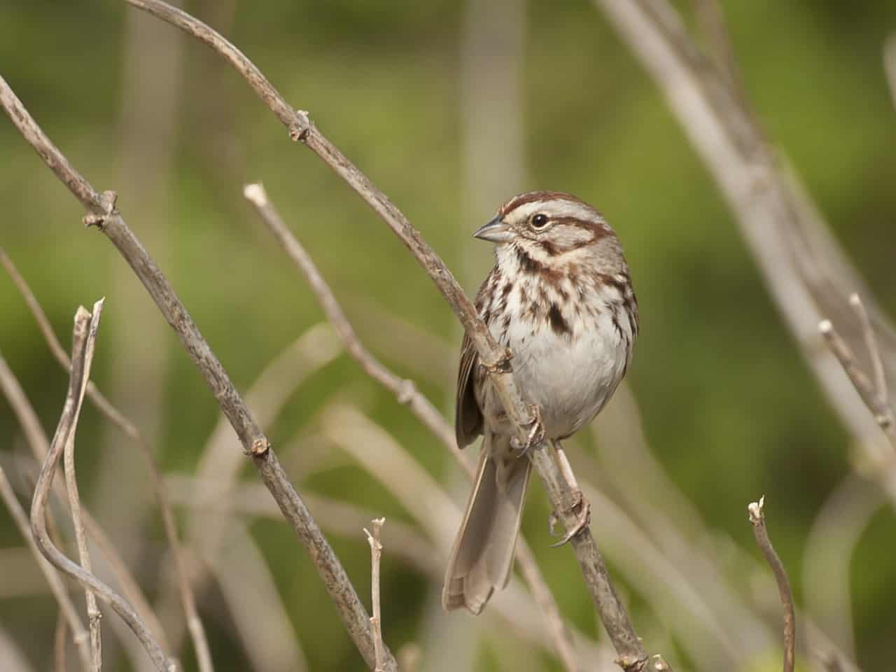 Song Sparrow - Photo Tom Sheley