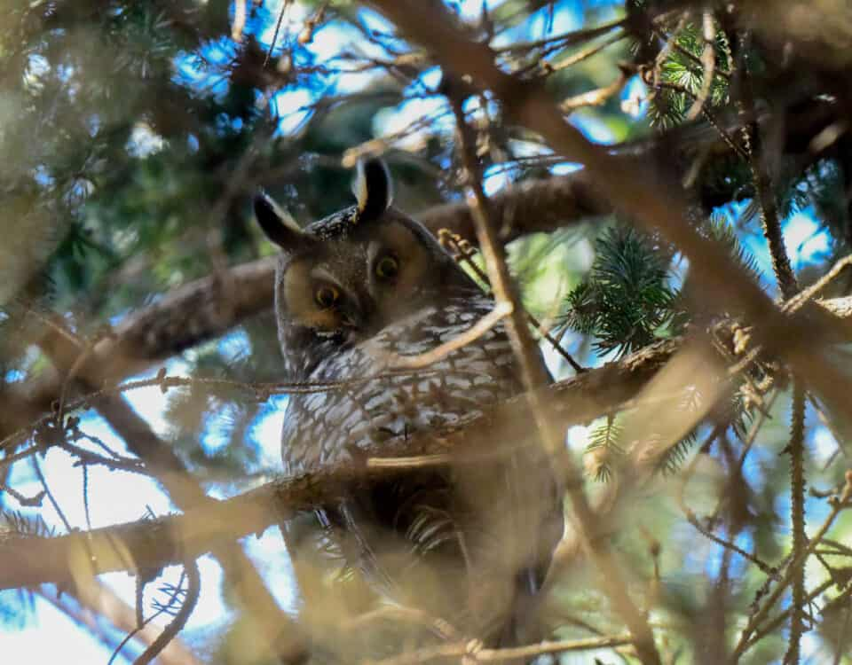 Long-eared Owl - Photo John Kuenzli