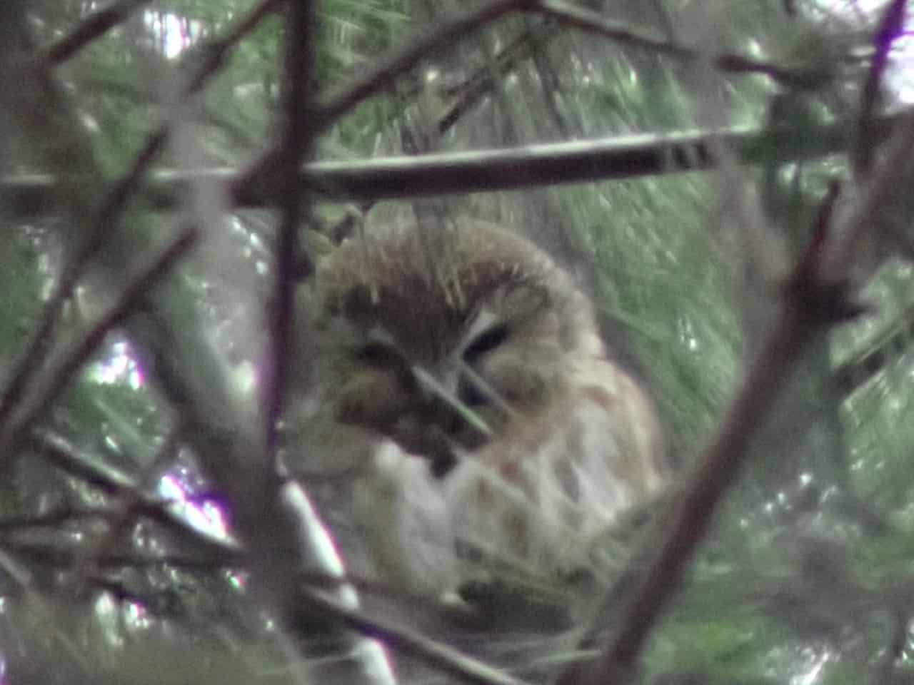 Northern Saw-whet Owl - Photo Blake Mathys