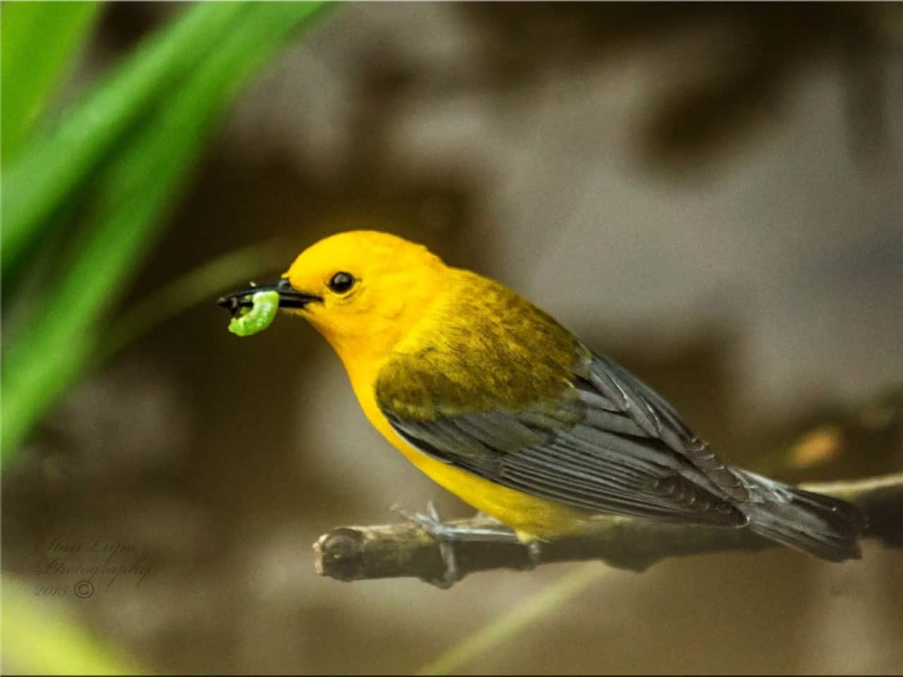 Prothonotary Warbler - Photo Stan Lupo
