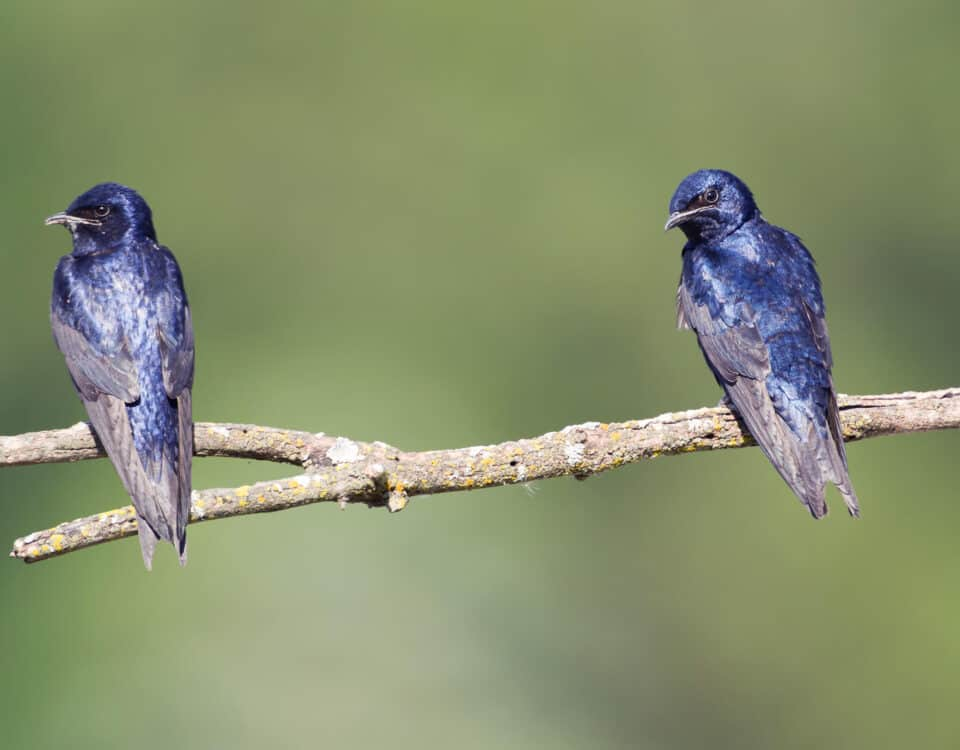 Purple Martins - Photo Agnieszka Bacal