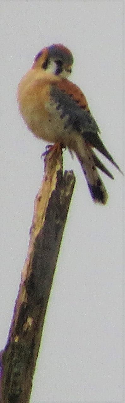 American Kestrel - Parker Garver