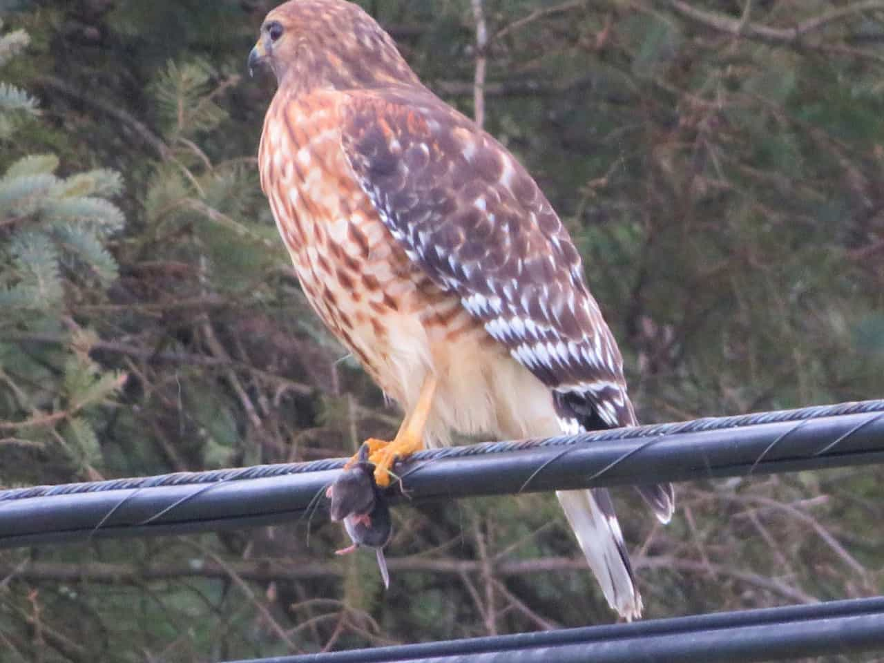 Red-shouldered Hawk - Parker Garver