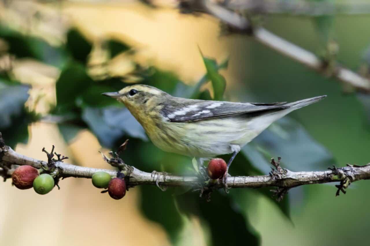 Blackburnian Warbler at Coffee Plantation
