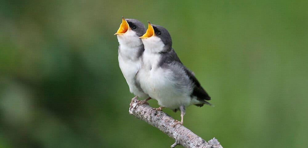 Tree Swallow Fledglings - Photo Barbara Krizman