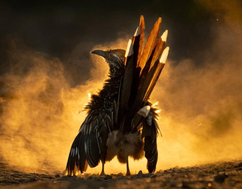 Audubon 2021 Photo Contest Grand Prize Winner - Greater Roadrunner by Carolina Fraser