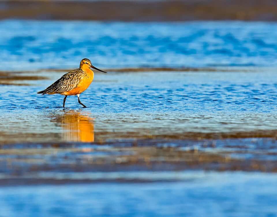 Bar-tailed_Godwit - Photo William Pohley