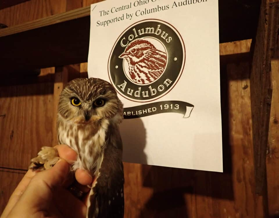 Saw-whet Owl - Central OH Owl Project - Photo Blake Mathys