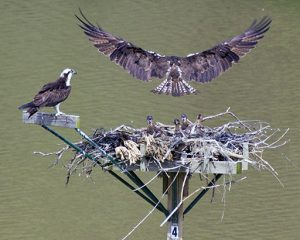 Adult Osprey Approaching Nest to Feed Young