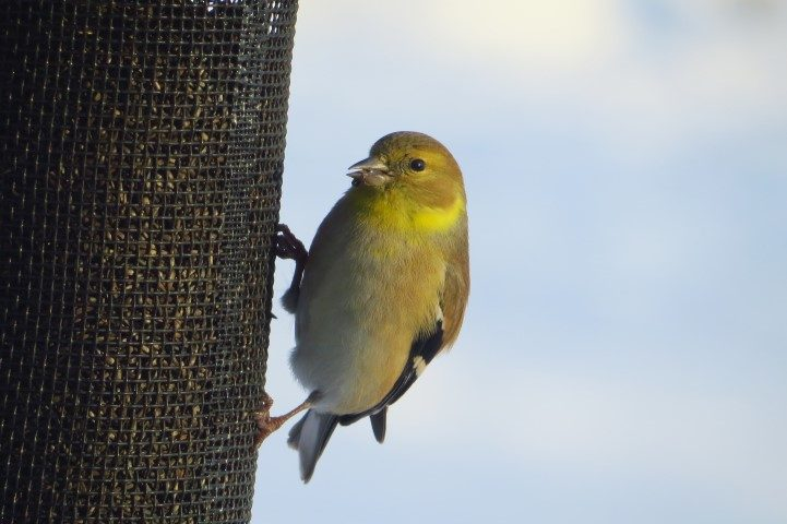 American Goldfinch at a feeder in Canton (Photo Lisa Phelps)