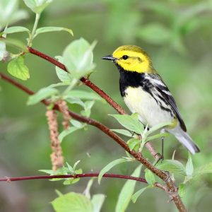 Black-throated Green Warbler - Photo Earl Harrison