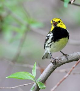 Black-throated Green Warbler in full song - Photo Earl Harrison