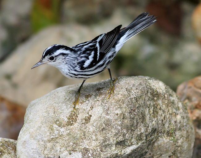 Black and White Warbler (photo Earl Harrison)