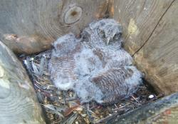 Delaware Owlets May, 2009