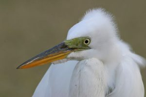 A Great Egret stares intently at the camera staring at it. (Photo courtesy Earl Harrison, copyright 2012)